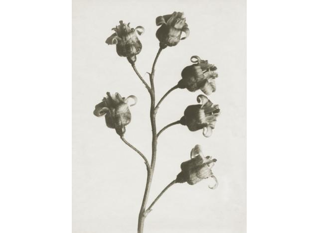 Plakat 30x40cm Ribes nigrum