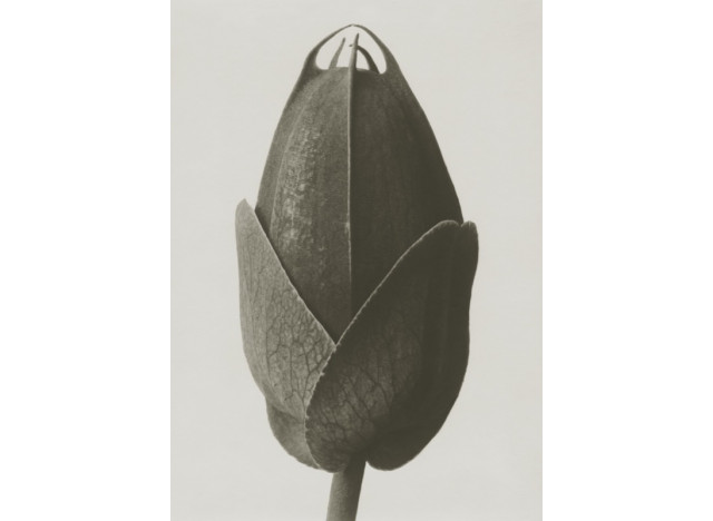 Plakat 50x70cm Cosmos bipinnatus