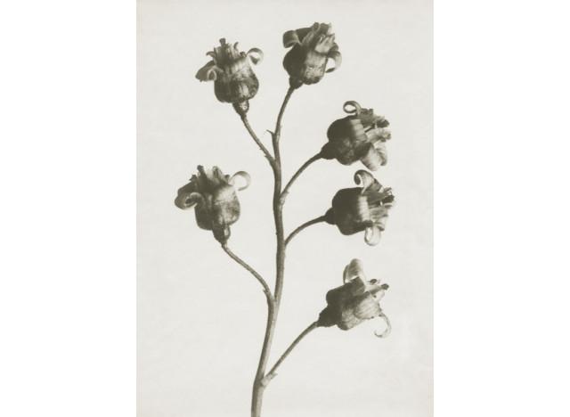 Plakat 50x70cm Ribes nigrum