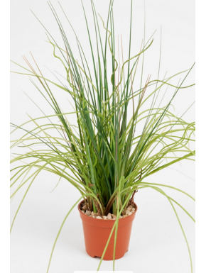 Cyperus in pot 37 cm